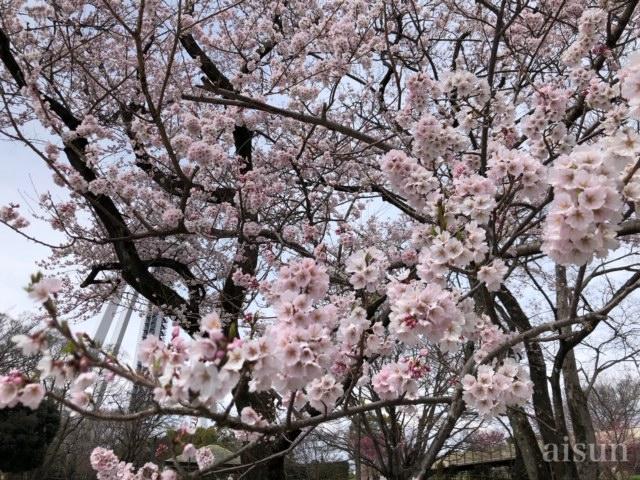 138タワー 桜 2019